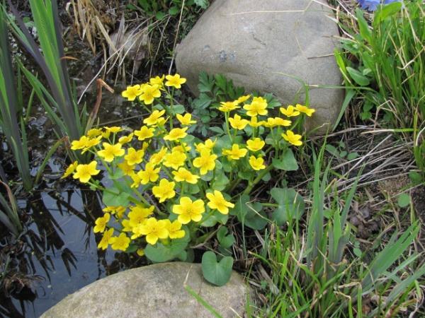 Marsh Marigold - Sustainable Native Landscaping