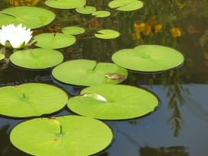 Green Frog on Water Lily
