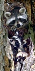 raccoons in snag