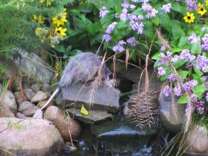 Possum Drinking From Pond