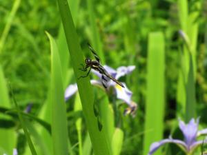 Dragonfly on Sweet Flag Iris