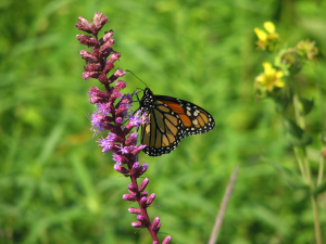 Monarch on Marsh Blazing Star