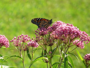 Monarch on Swamp Milkweed