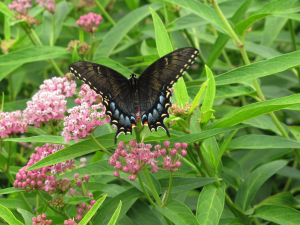 Black Swallowtail on Swamp Milkweed