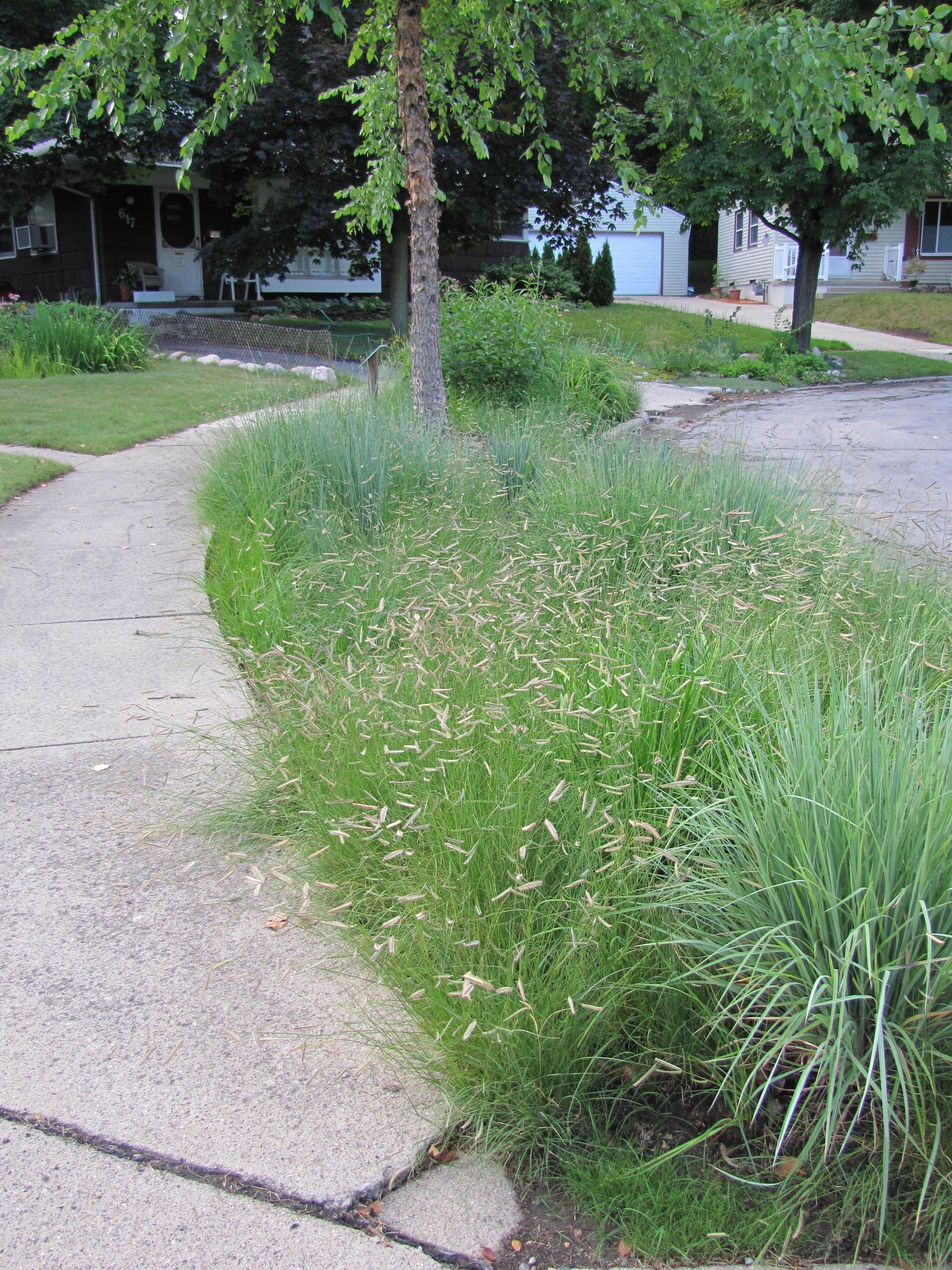Short Michigan Native Prairie Gres Lawn Extension Next To Road