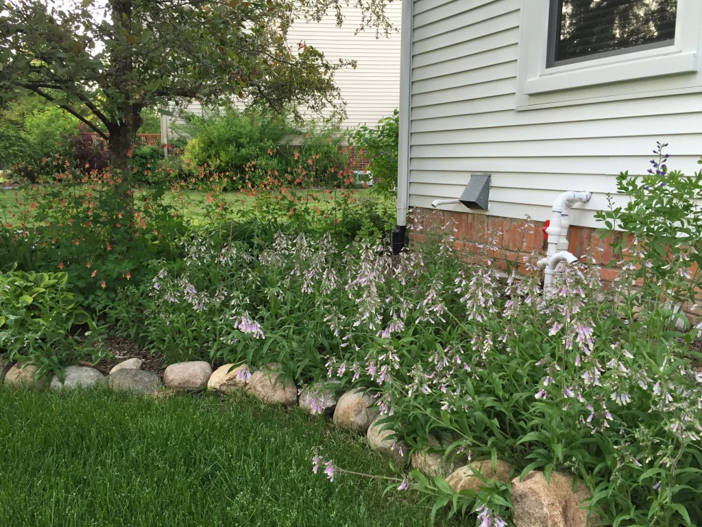 Native Landscaping Plants in Perennial Beds