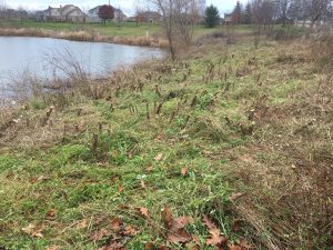 Invasive Flora Removal in Wayne County MI
